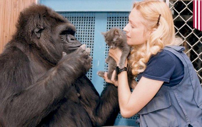 Koko, Gorila Yang Mengerti Bahasa Isyarat Manusia