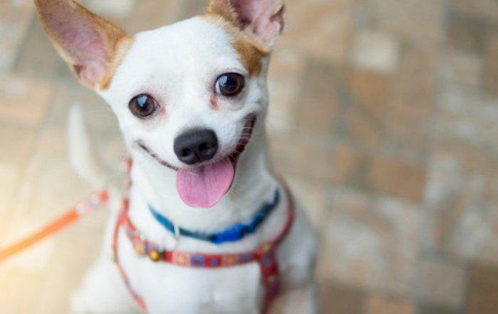 Chihuahua, Ras Anjing Terkecil Di Dunia Yang Lucu