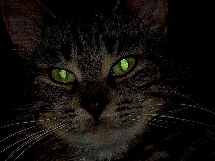 Kenapa Mata Kucing Bisa Bersinar Pada Malam Hari?