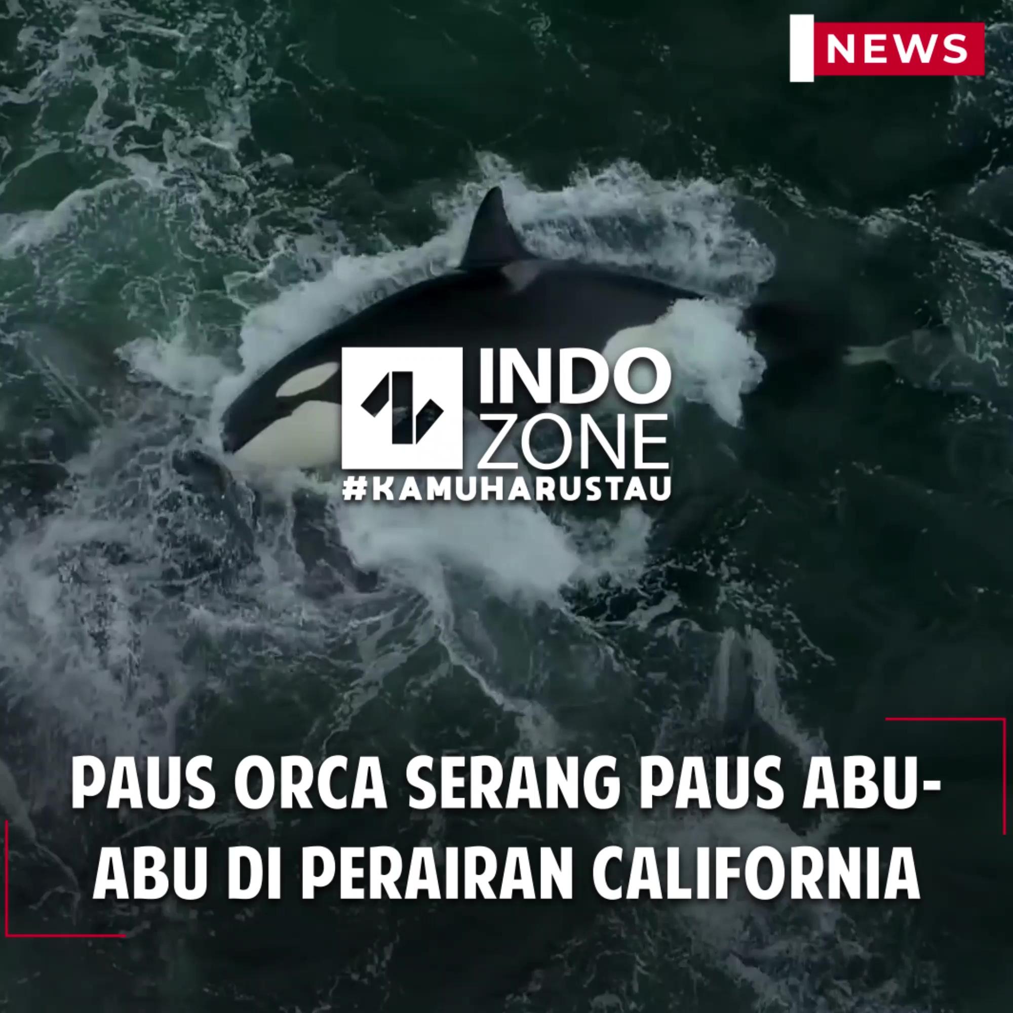 Paus Orca Serang Paus Abu-abu di Perairan California