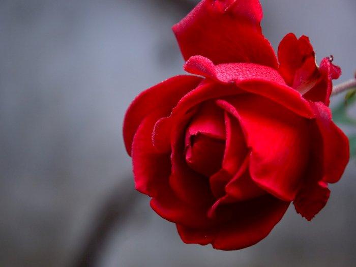 Bunga Mawar sebagai Simbol Cinta, Politik, Sampai Khasiat Obat