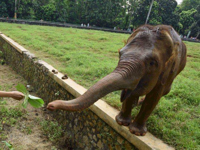 Gawat! Gajah Sumatera Terancam Punah