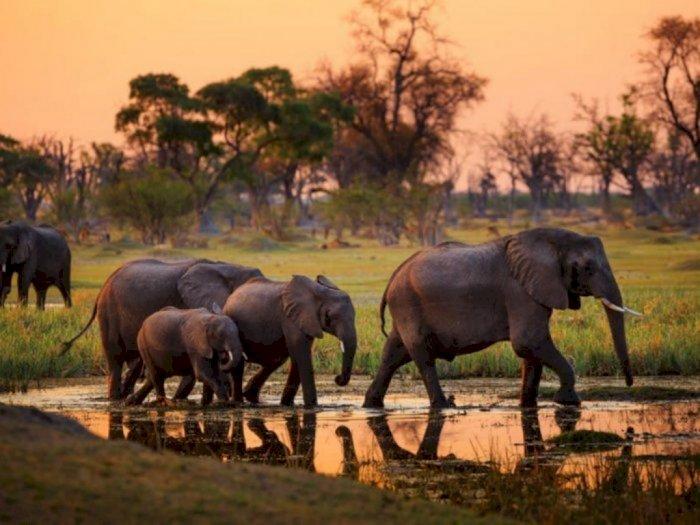 Miris, Populasi Gajah Sumatera Tinggal 200 Ekor