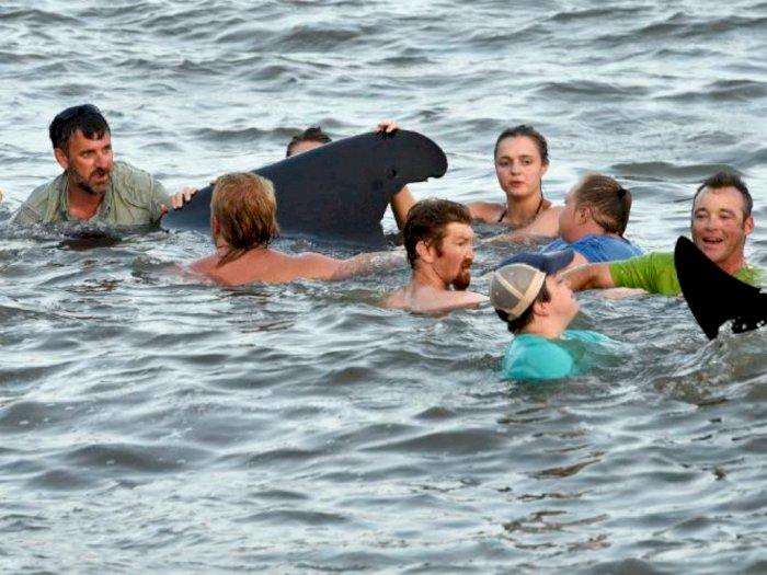 Salut! Pengunjung Pantai Georgia Ini Selamatkan Puluhan Paus Terdampar