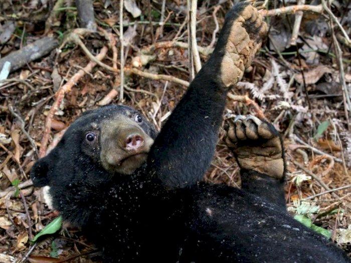 2 Kambing Kurban Milik Warga Tanah Datar Diterkam Oleh Beruang Madu