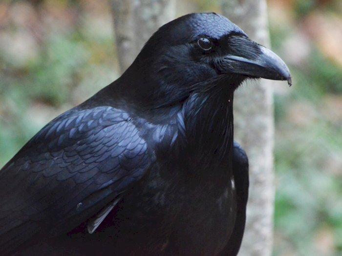 Suara Burung Gagak Dianggap Sebagai Pertanda Kematian Percaya Indozone Id