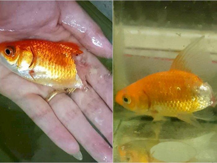 Kisah Wanita Rawat Ikan Mas yang Nyaris Mati Sampai Sembuh