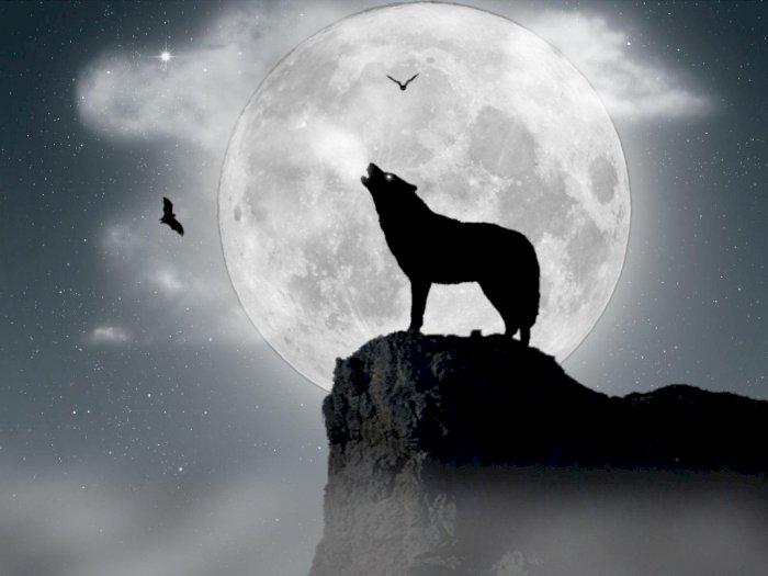 Misteri Lolongan Serigala Dan Munculnya Bulan Purnama
