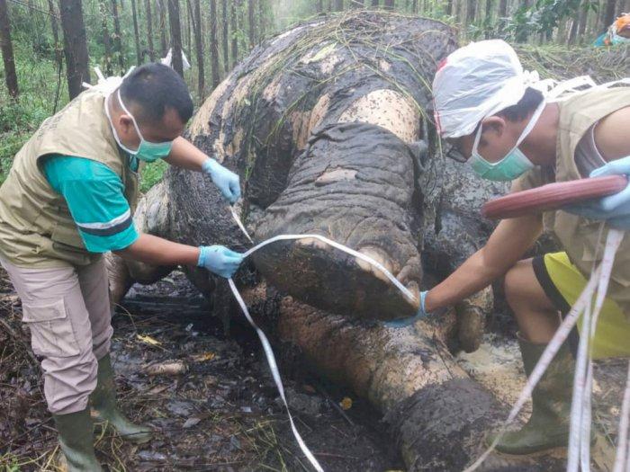 Ditemukan Gajah Mati di Wilayah Konsesi Tanaman Industri Riau
