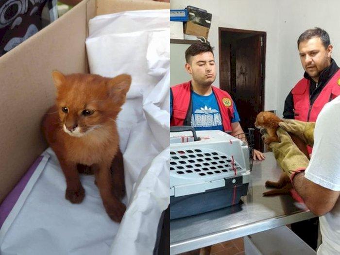 Waduh! Sempat Dikira Kucing, Pria Ini Ternyata Temukan Anak Puma