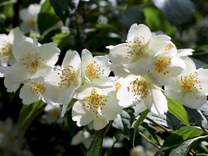 Manfaat Dari Mencium Bunga Melati yang Harus Kamu Ketahui