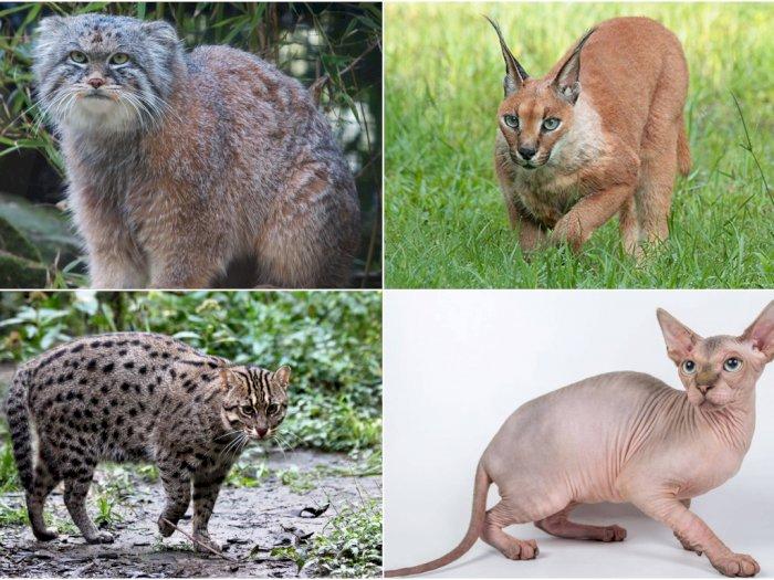 12 Jenis Kucing Terunik di Dunia