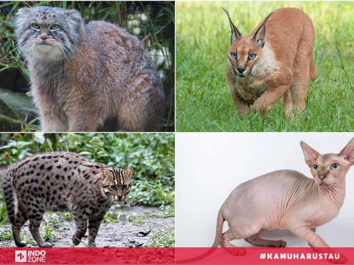 12 Jenis Kucing Terunik Di Dunia Indozone Id