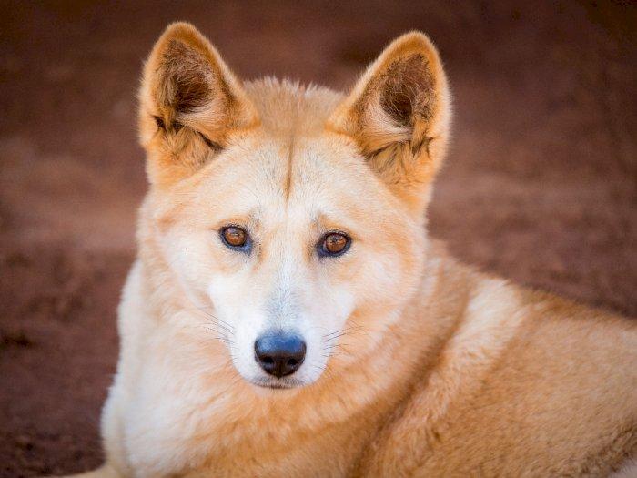 Dingo, Spesies Unik Antara Anjing dan Serigala