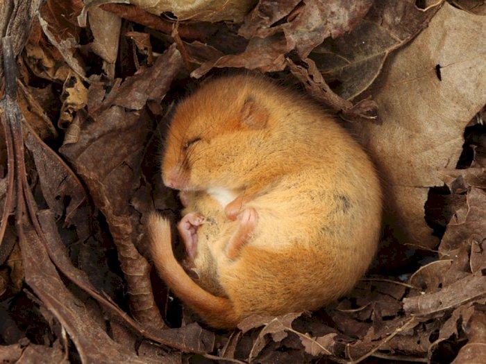 Lemur Dormouse, Primata Kecil yang Mendengkur Saat Tidur