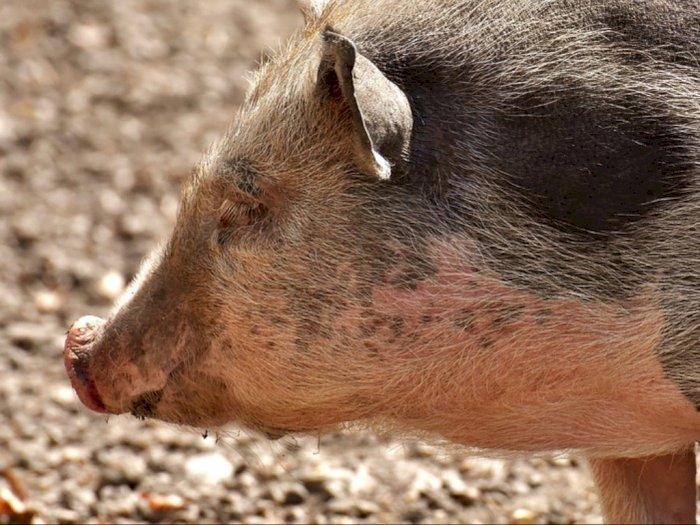 Produk Makanan Babi Seperti Apa yang Diberi Izin Edar BPOM?