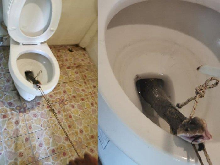 Ngeri! Orang Ini Temukan Seekor Ular Kobra di Klosetnya