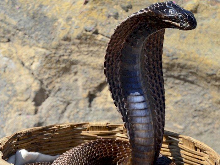 Benarkah Makan Daging Ular Kobra Bisa Meningkatkan Gairah Bercinta?