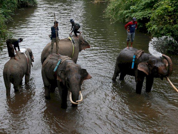 BKSDA Sebut Populasi Gajah di Aceh Semakin Menurun