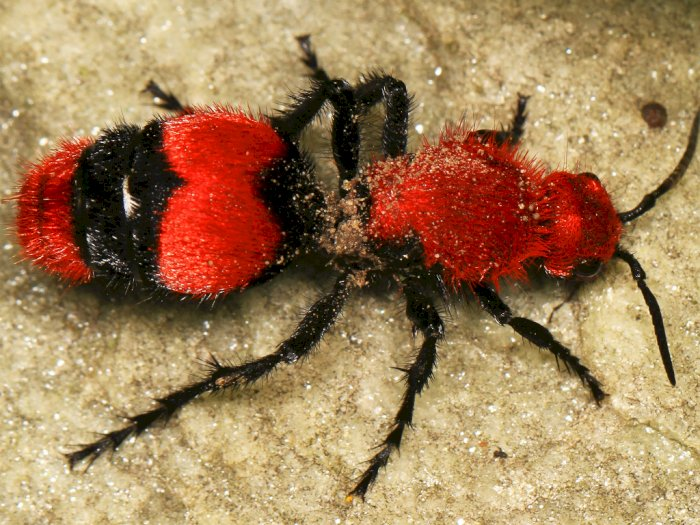 Semut Leludru Merah, Spesies Tawon dengan Sengat Berbahaya