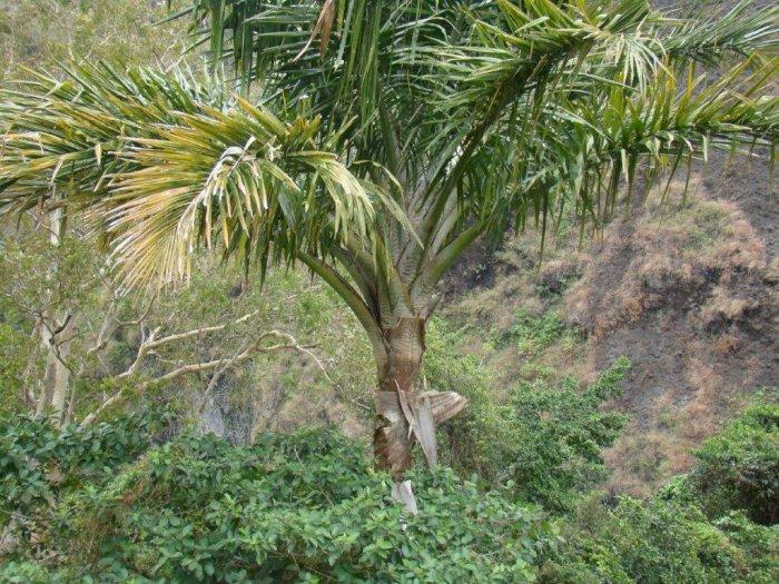 Mengenal Pohon Rumbia, Tanaman Penghasil Tepung Sagu