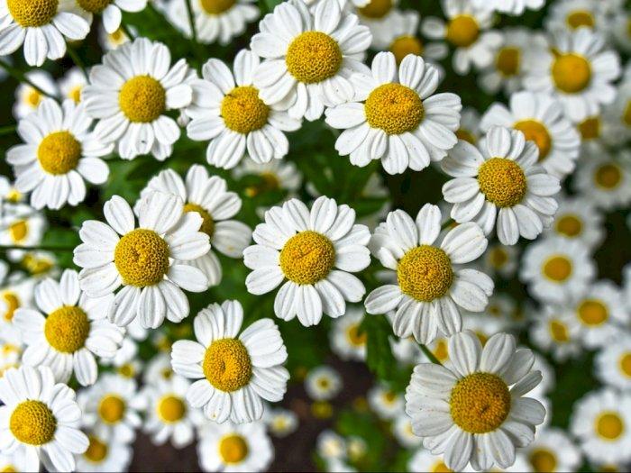 Chamomile, Bunga Bersejarah yang Dipercaya Untuk Pengobatan