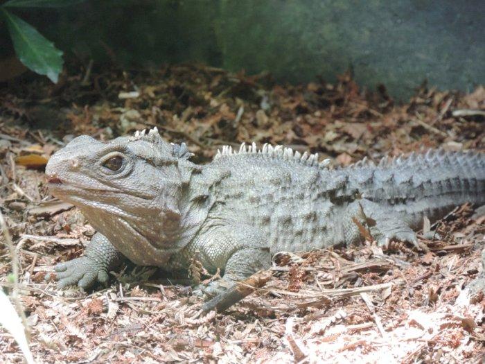Tuantara, Jenis Terakhir Kelompok Reptil Sejak Zaman Dinosaurus