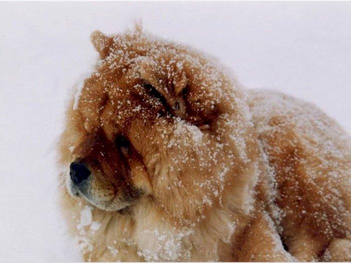 Anjing Chow Chow Salah Satu Ras Anjing Tertua Di Dunia Indozone Id