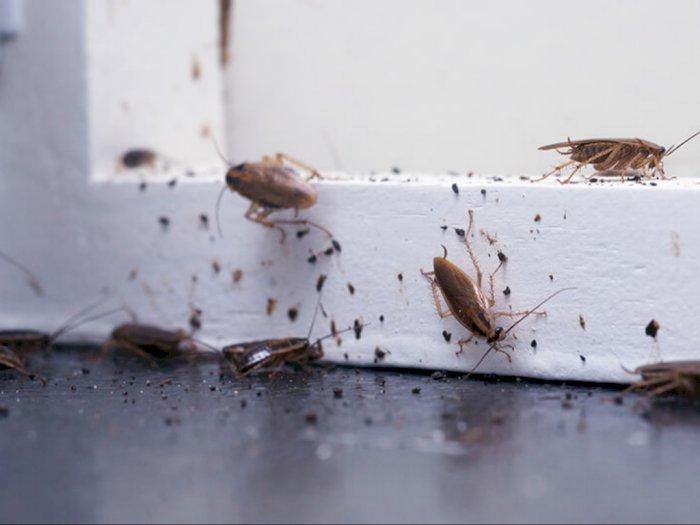 Berikut Cara Sederhana Basmi Kecoa dari Rumah Dalam Waktu Satu Malam