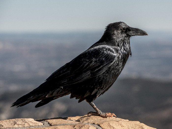 Dianggap Pertanda Kematian Ini Mitos Dan Fakta Tentang Burung Gagak Indozone Id