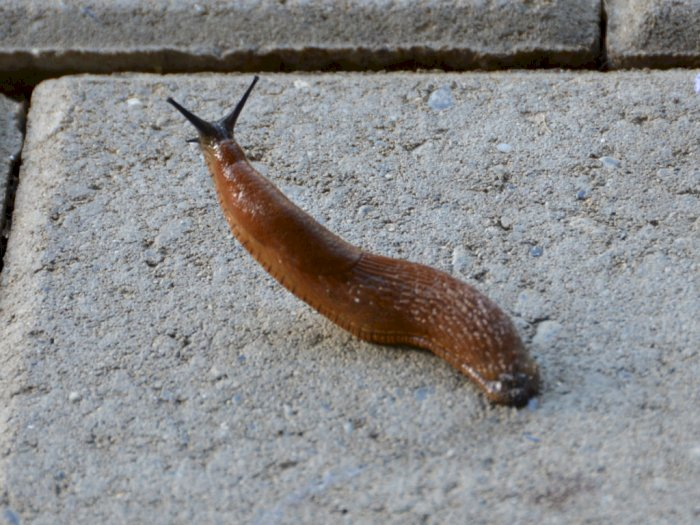 Siput Telanjang Hewan Hermafrodit yang Mirip Lintah