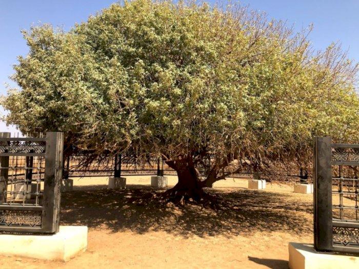 Pohon Sahabi, Saksi Kenabian Muhammad SAW di Yordania