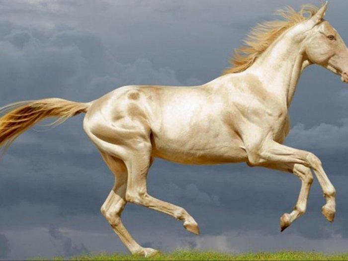 Miliki Bulu Terindah, Kuda Akhal-Teke Juga Punya Banyak Nama