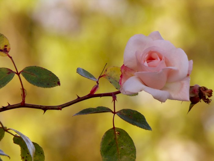 Apakah Fungsi Duri-Duri pada Tanaman Mawar?