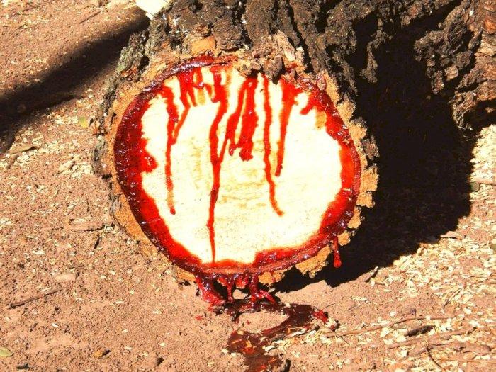 Pohon Kiaat Memiliki Getah Seperti Darah dengan Kekuatan Magis