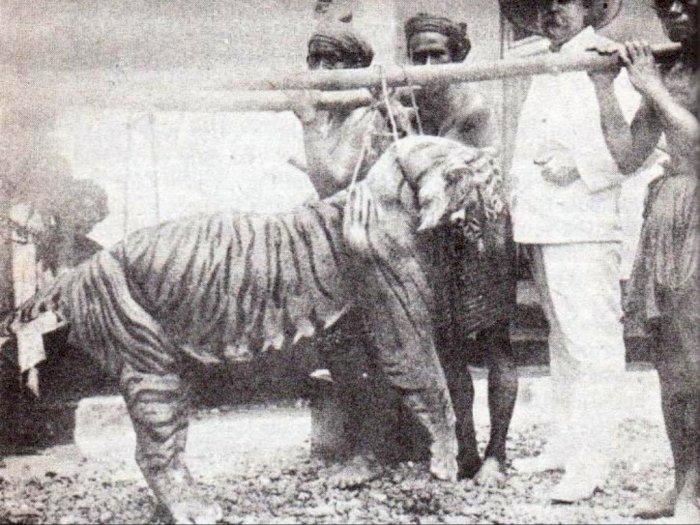 Indozone Harimau Bali, Subspesies Harimau yang Telah Pun