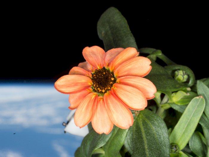 Bunga Zinnia, Bunga Pertama yang Berhasil Mekar di Luar Angkasa