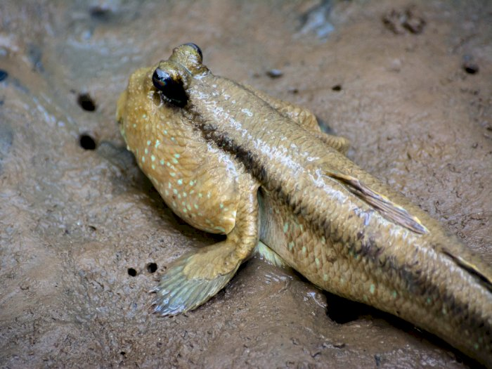 Ikan Tembakul, Ikan Amfibi yang Mirip Seperti Kodok