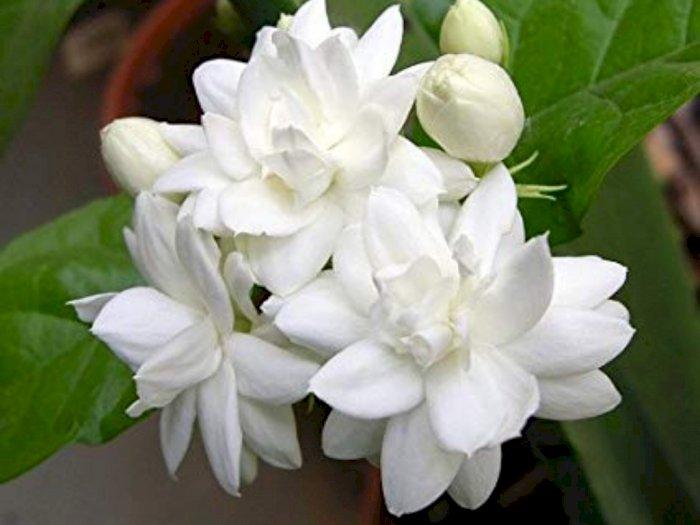 Identik dengan Kesan Mistis, Ini Manfaat Bunga Melati Bagi Kesehatan