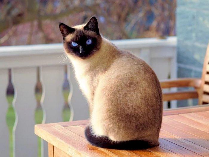 Kucing Siam Ras Kucing Asal Thailand Yang Penyayang Indozone Id