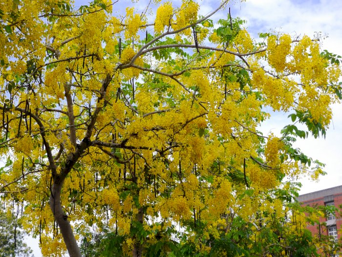 Si Cantik Golden Shower yang Jadi Bunga Nasional Thailand