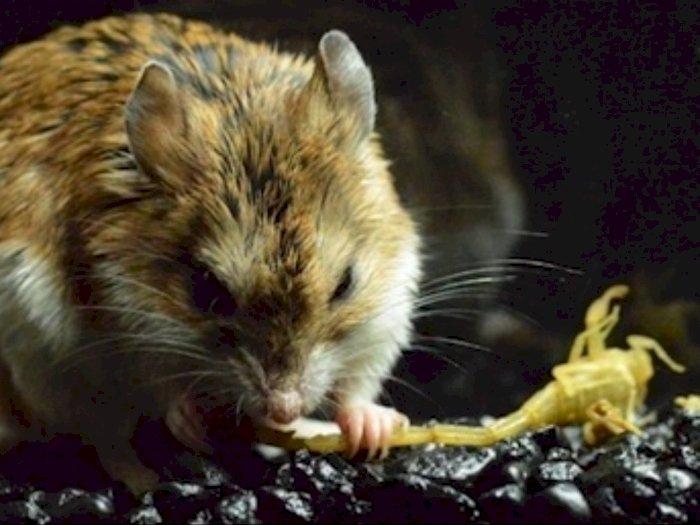 Tikus Belalang, Spesies Tikus Agresif yang Kebal Racun Kalajengking