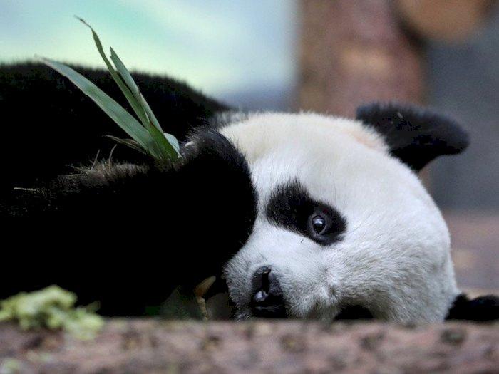 Dua Ekor Panda Raksasa di Moskow Kangen Pengunjung