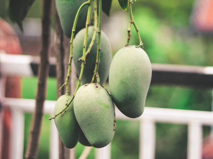 Bukan Durian, Raja Buah di India Justru Mangga