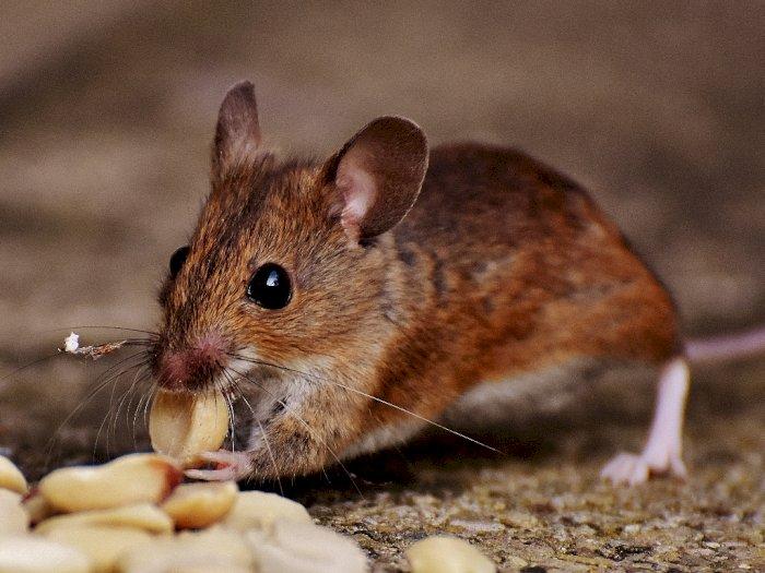 Setelah Corona Berakhir Tikus Diprediksi Menjadi Kanibal