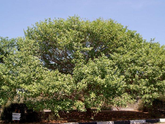 Pohon Nagasari, Pohon Keramat dan Berkhasiat Obat