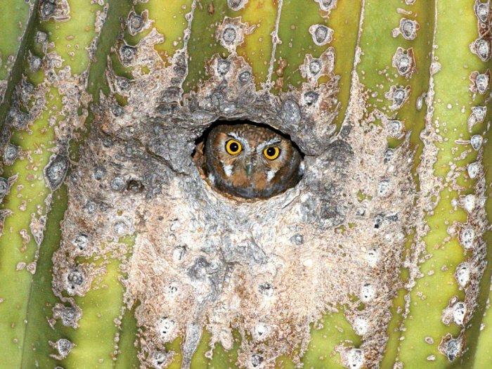 Lucunya Burung Hantu Elf yang Mungil dan Suka Bersembunyi di Pohon Kaktus