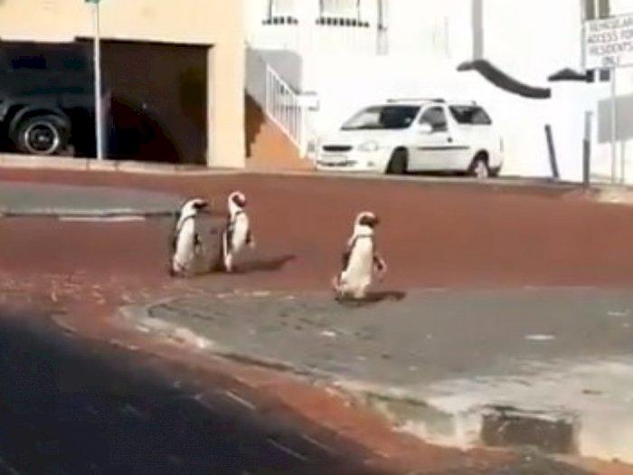 Viral Video Penguin Masuk ke Pemukiman Warga saat Jalan Sepi karena Karantina