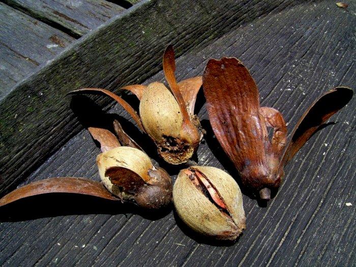 Tengkawang, Tanaman Penghasil Minyak Nabati Maskot Kalimantan Barat