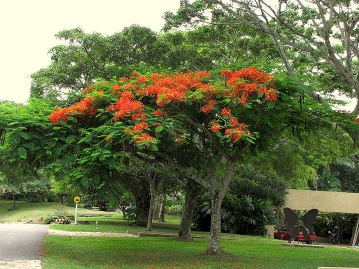 Pohon Flamboyan, Peneduh yang Bisa Jadi Obat Malaria